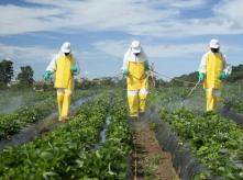 Men spraying pesticides in a strawberries field