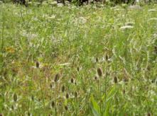 weeds in field