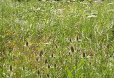 weeds in field